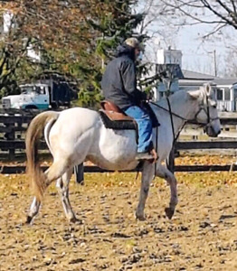 Can. Warmblood Mare - broodmare or trail riding