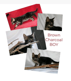 Bengal kittens. Tica registered