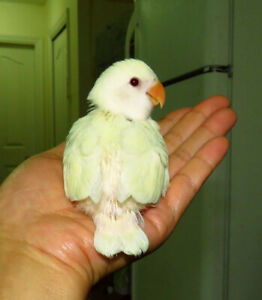 handfed baby lovebird (whiteface creamino)==SOLD