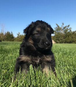 Pure Bread German Shepard Puppies for sale