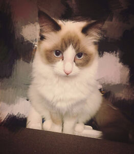 TICA registered registered female ragdoll kitten