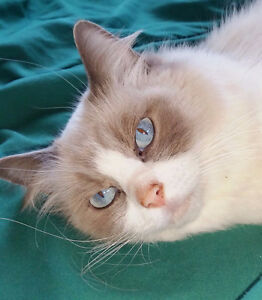 ISO WANTED reg'd ragdoll cat with breeding rights