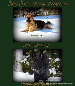 Black/red Reg. German Shepherd pups available to approved homes