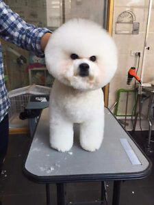 Bichon Frise grooming    specialist