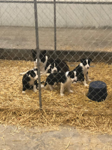 Beautiful Purebred Border Collie Pups for Sale!