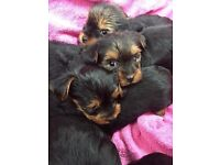 --YORKSHIRE TERRIER PUPPIES FOR SALE---