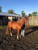 3 year old gelding horse for sale!