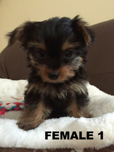 Lovely YORKIE - Yorkshire Terrier - puppies ready to go