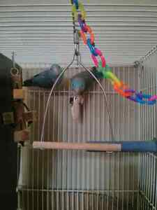 Bonded pair of pacific blue parrotlet