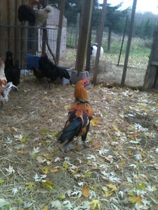 Fancy Roosters and one Sumatran hen available Cornwall Ontario image 4