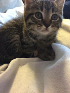 Lost kitten please contact asap.. 506 233 7314