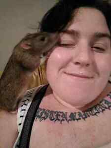 Looking for pet rat owners