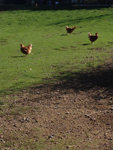 Isa Brown Laying Hens For Sale