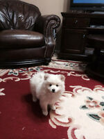 MALE POMERANIAN PUP !!!call or text 204 3321771-204 3623478