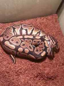 SNAKE  Ball Python BEST OFFER everything included