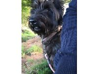 Scottie looking for her forever home