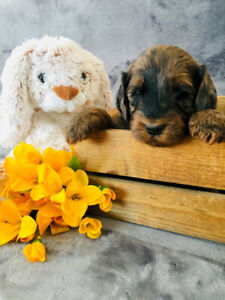 Golden Doodle Labradoodle Cross Puppies-Medium Size and Non-Shed