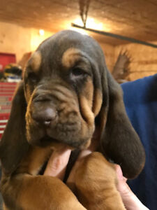 Purebred Bloodhound Puppies