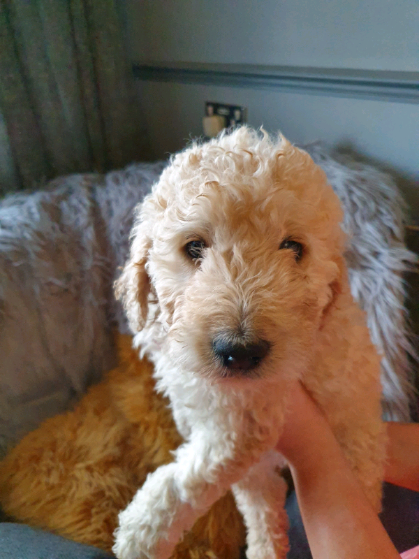 Outstanding Labradoodle puppies | in Derby, Derbyshire | Gumtree