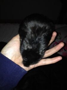 Finding new home for my black Bear hamster