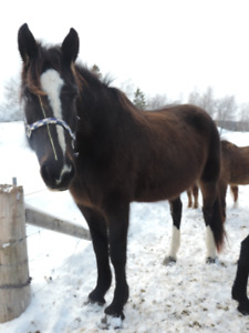 Clydesdale cross Thoroughbred mare for sale