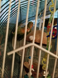 CAGE  & THREE LOVELY BABY LOVEBIRDS BLESSED AND HIGHLY FAVORED.
