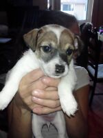 Only 1 female ! left out of 6 purebred Jack russell pups