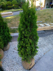 CEDARS FOR SALE