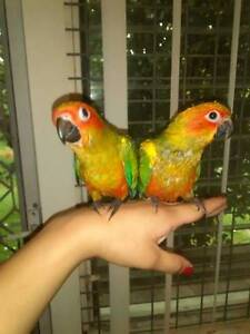 SUN CONURES  handraised babies very tame Strathfield Strathfield Area Preview
