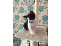 Kittens kitten 8 weeks ready now blue eyes Nt puppy puppies dog pup