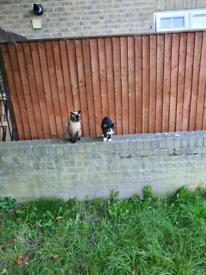 Samll kittens 😸 ready to go:) Ragdol Cross