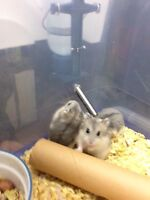 Young and healthy fussian dwarf hamster