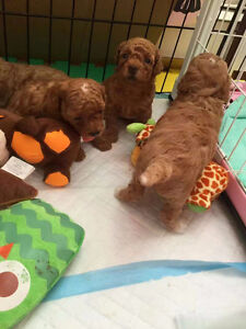 toy size poodle puppies 2boys And 1 girl left