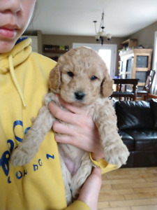 Goldendoodle miniature
