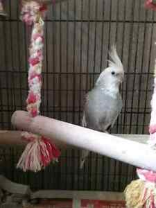White and Grey cockatiel with cage