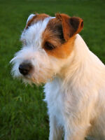 Retired CKC Ch Parson Russell Terrier
