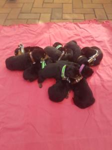 Purebred German line Rottweiler puppies