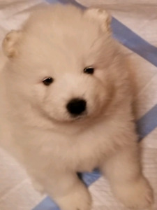 Samoyed | Kijiji in Ontario  - Buy, Sell & Save with