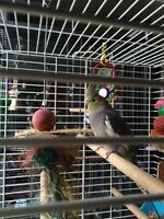 Love bird and two cockatiels