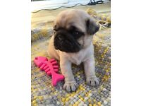 Female Pug Puppy