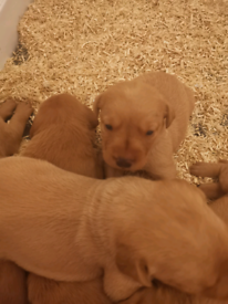 Fox Red Labrador pup's