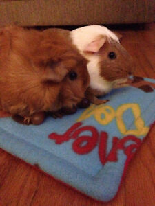 Two female guinea pigs with home and accessories