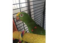 Yellow fronted Amazon for sale