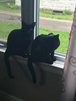 2 Black Male Kittens Brothers with papers