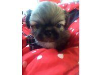 Pekingese puppy's