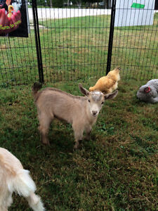 Registered Nigerian Dwarf Buck Goats INTACT breeding boys Peterborough Peterborough Area image 2