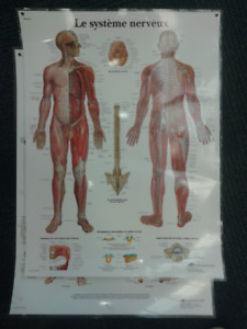 2 Large Laminated Anatomy Posters, Skeleton & Nerves FRENCH