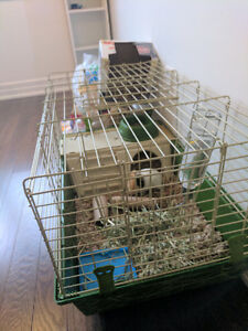 6 months old guinea pig with cage