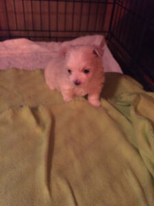 MALTESE PUPS ---2 males left ( one male and one female sold )