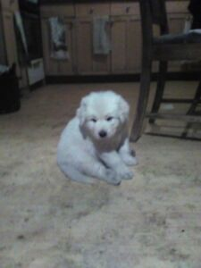 Great Pyreneese guardian dogs for sale